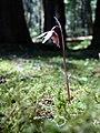 Calypso Orchid (42905218042).jpg