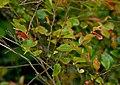 Camellia lutchuensis 01.jpg