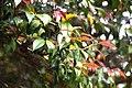 Camellia sasanqua 'Lucinda' in Auckland Botanic Gardens 03.jpg