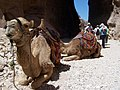 Camels at Petra - panoramio.jpg