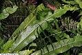Campyloneurum philliditis 2zz.jpg