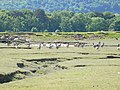 Canada Geese on the saltmarshes - geograph.org.uk - 1340594.jpg
