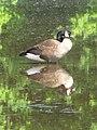 Canadian Goose (3528272521).jpg