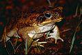 Cane Toad (Rhinella marina) (10606783786).jpg