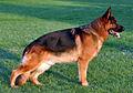 Cane da pastore tedesco adulto.jpg