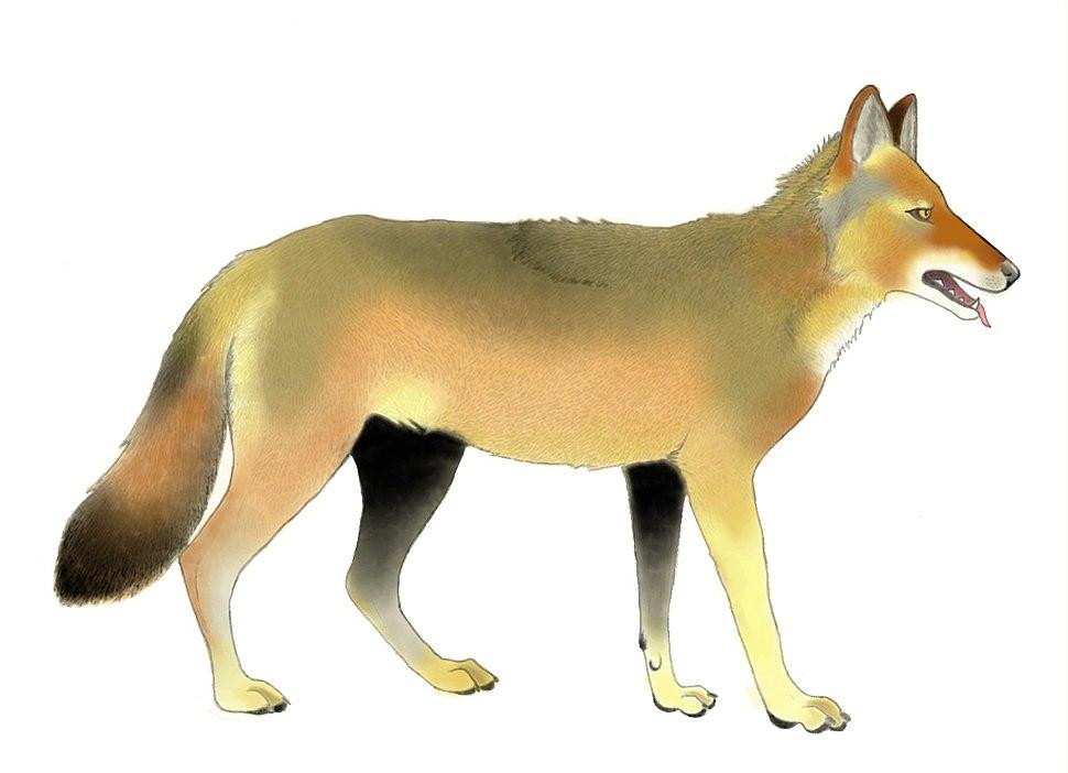 Canis arnensis restoration