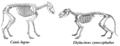 Canis lupus & Thylacinus cynocephalus.png