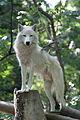 Canis lupus arctos - Tiergarten Schönbrunn 2.jpg