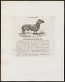 Canis lupus familiaris - 1700-1880 - Print - Iconographia Zoologica - Special Collections University of Amsterdam - UBA01 IZ22200224.tif