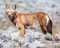 Canis simensis Oromia.jpg