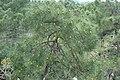 Canopée de pins.jpg