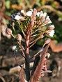 Capsella bursa-pastoris ENBLA06.jpg
