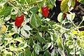 Capsicum annuum Striped Hot Pepper 2zz.jpg