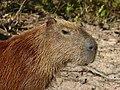 Capybara (Hydrochoerus hydrachaeris) close-up ... (31731304356).jpg