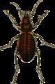 Carabus irregularis Jacobson.png