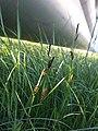 Carex melanostachya sl6.jpg