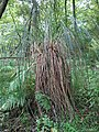 Carex paniculata plant 05).jpg