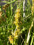 Carex stipata (4155809636).jpg