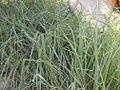 Carexspissa1.JPG