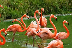 American flamingo - A flock at Whipsnade Zoo