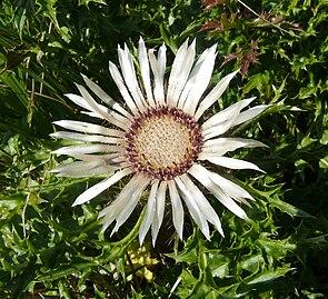 Silberdistel (Carlina acaulis subsp. acaulis)