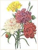 Carnations redoute.JPG