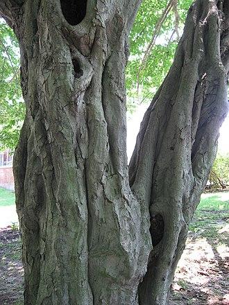Carpinus betulus - Image: Carpinus Betulus Bark