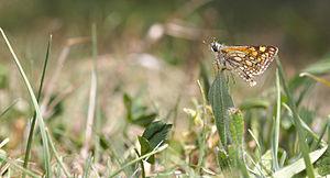 Carterocephalus palaemon grassroots.jpg
