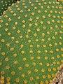 Caryophyllales - Opuntia microdasys - 3.jpg