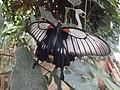 Casa delle Farfalle - Papilio memnon female.jpg