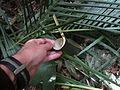 Casca do palmito após sua extração.JPG