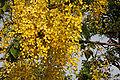Cassia fistula (Amaltas) in Hyderabad W IMG 8178.jpg