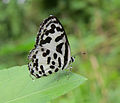Castalius rosimon - Common Pierrot 32.jpg