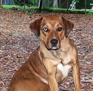 Catahoula bulldog - A female red/tan 75/25-type Catahoula bulldog.