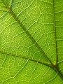 Catalpa sp, leaf veins 02.jpg
