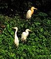 Cattle Egrets I3 IMG 1409.jpg
