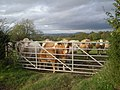 Cattle at a gate - geograph.org.uk - 1008580.jpg