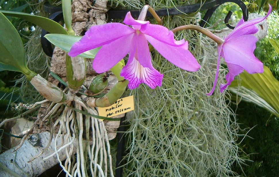 Cattleya nobilor roseum OrchidsBln0906a