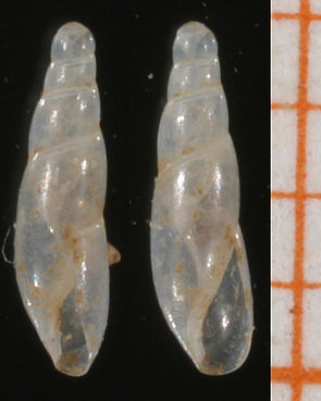 Blindschnecke (Cecilioides acicula)