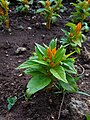 Cellosia flower.jpg