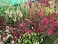 Celosia wool flower from Lalbagh flower show Aug 2013 8467.JPG