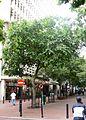 Celtis africana - Cape Town street 5.JPG