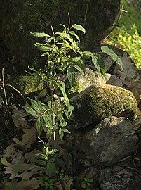 Celtis australis Losar 20071109 b.jpg