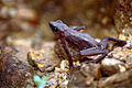Central Coast Stubfoot Toad (Atelopus franciscus) (10596338993).jpg