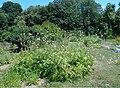 Cephalaria gigantea 2018-07-09 5019.jpg