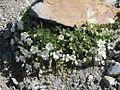 Cerastium latifolium (Kalkalpen-Hornkraut) 1138 IMG.JPG