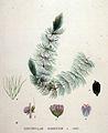 Ceratophyllum submersum — Flora Batava — Volume v19.jpg