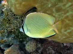 Speckled butterflyfish or citron butterflyfish (Chaetodon citrinellus)