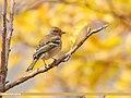 Chaffinch (Fringilla coelebs) (49270704433).jpg
