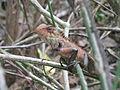 Chameleon - ഓന്ത് (8).JPG